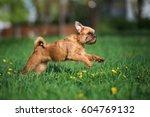 brussels griffon dog running... | Shutterstock . vector #604769132