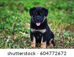 Stock photo cute puppy 604772672