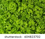 fresh curly parsley | Shutterstock . vector #604823702