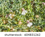 Small photo of Bladder campion or maidenstears, Silene uniflora, growing on coastal dunes of Arousa island