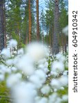 Small photo of Blooming white flowers of Cottongrass in Lapland pine forest