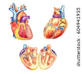 the human heart viewed from the ... | Shutterstock . vector #604941935