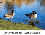 Couple Of Geese Are Standing I...