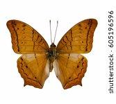 Small photo of Butterfly stuff : Cruiser (Vindula Evota)