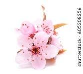 cherry blossom   pink sakura... | Shutterstock . vector #605208356