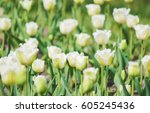 background of blooming tulips.... | Shutterstock . vector #605245436