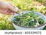 harvesting wild dandelion... | Shutterstock . vector #605339072