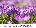 Purple Crocuses  Crocus   ...