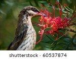 honeyeater drinks nectar from a ... | Shutterstock . vector #60537874
