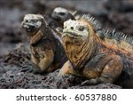 The Marine  Iguana Poses.   Th...