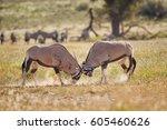 gemsbok  oryx gazella  two ... | Shutterstock . vector #605460626