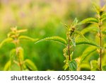 the twig of wild plant nettle... | Shutterstock . vector #605504342