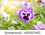 Close Up On Purple Pansy Flowe...