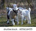 Cute Baby Goat On Field In...