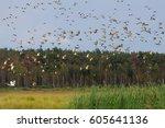 Ducks Mallards And Eurasian...