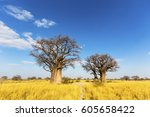 baobab trees in winter | Shutterstock . vector #605658422