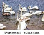 whooper swans swim on the shore ... | Shutterstock . vector #605664386