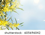 blooming mimosa branches... | Shutterstock . vector #605696042