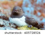 Small photo of Portraits of most Northern birds. Sea birds of high Arctic (near North pole). Little auk special subspecies (Alle alle polaris), nesting plumage. Bird nest in rocks, eater of krill. Franz-Josef Land.