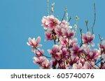 beautiful purple magnolia... | Shutterstock . vector #605740076