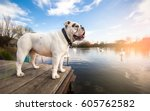 White English Bulldog Standing...