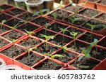 seedlings of sweet pepper in... | Shutterstock . vector #605783762