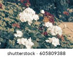 colorful of geranium and green... | Shutterstock . vector #605809388