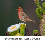 A Male House Finch Native To...