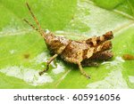 Grasshopper Excrement On The...