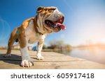 English Bulldog Dog Spring...