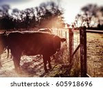 Black Angus Cow At Dawn Agains...