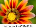 Gerbera Orange Flower Close Up...