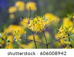 sunny yellow rhododendrons... | Shutterstock . vector #606008942