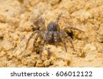 Small photo of trap door spider with shallow DOF