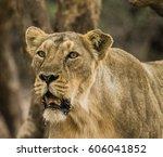 asiatic lion | Shutterstock . vector #606041852