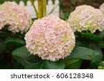 close up of hydrangea flowers.... | Shutterstock . vector #606128348