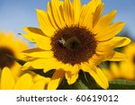 Sunflower In The Warm Morning...
