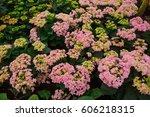 hydrangea dubble pink  flower ... | Shutterstock . vector #606218315