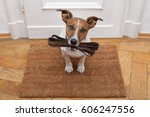 Stock photo jack russell dog waiting a the door at home with leather leash ready to go for a walk with his 606247556