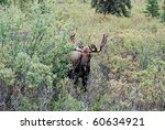 Bull Moose In Denali National...
