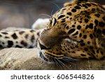 A Jaguar Taking A Nap