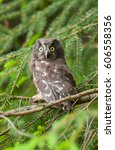 Small photo of Portrait of young Tengmalm's Owl (Aegolius funereus) with big yellow eyes sitting on spruce tree.Close up of wide-eyed Boreal Owl, Wild animal in the nature habitat.Isolated, Clear background,vertical