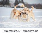 Labrador Retrievers Playing On...