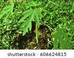 Young Carica Papaya Trees ...