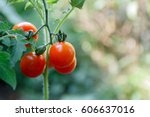 Close Up  Fresh Red Tomatoes O...
