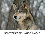 Small photo of Head Shot of Grey Wolf Near Some Trees
