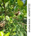 Small photo of Immature Bulbul bird on the lime tree.