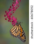 A Monarch Butterfly Is Hanging...