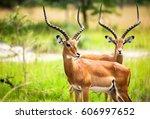 Antelope In Nature