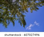 Small photo of Casuarinaceae trees under blue sky at sunny day in forest